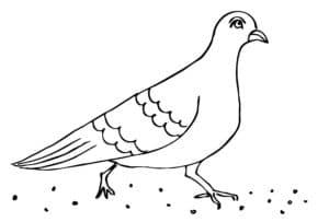 голубь и зерно