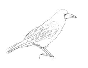 птица грач