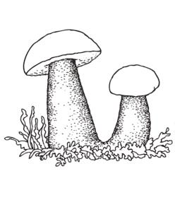 Два грибочка