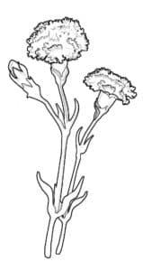 гвоздика красивый цветок