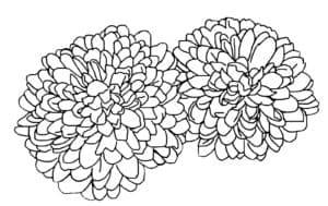 Две хризантемы раскраска