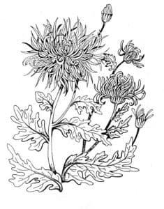 Детская раскраска цветок хризантема