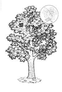 Красивая раскраска дерево клен