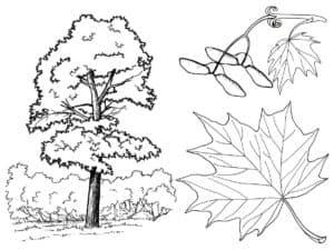 клен и его листья