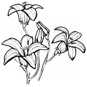 Три цветка колокольчика