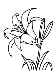 большая лилия раскраска