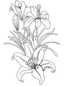 раскраска для детей лилия