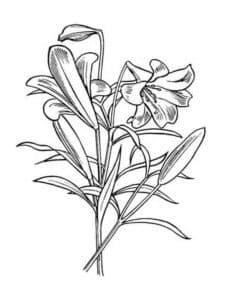 лилия с листьями
