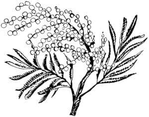 детская раскраска мимоза