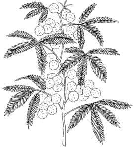 Раскраска для детей мимоза