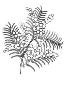 Раскраска для детей цветок мимоза