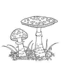 Мухомор с круглой и плоской шляпкой