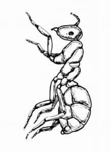 раскраска для детей муравей