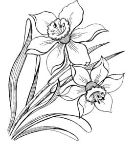 цветы нарцисс
