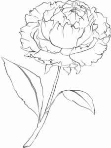 Красивый цветок пион