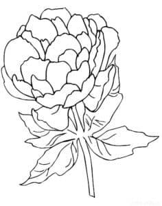 Один цветок пион
