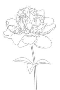 раскраска цветок пион с лепестками