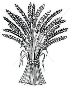 букет пшеницы
