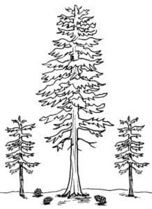 большие елки и шишки