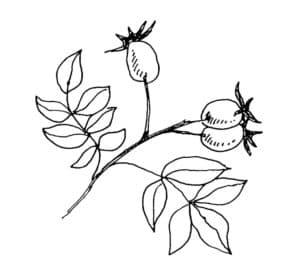 шиповник и листья