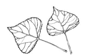 два листика тополя