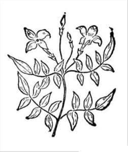 цветок жасмин детская раскраска
