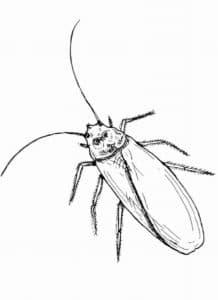 тонкий жук