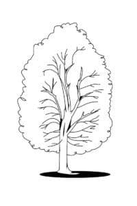 дерево береза раскраска