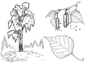 Дерево с почками