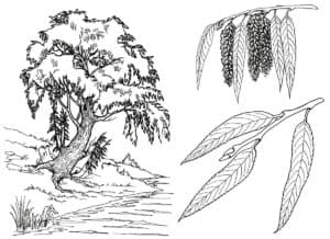 Дерево с тонкими листьями