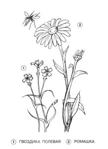 гвоздика полевая и ромашка