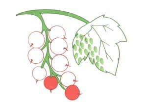 ягоды и лист