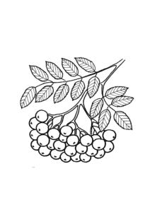 ягода рябина