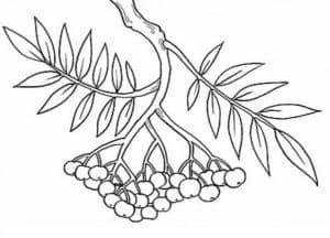 рябина и листья
