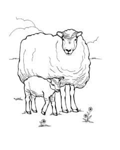 горные овцы
